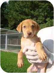 Labrador Retriever Mix Puppy for adoption in Hammonton, New Jersey - Nakoma