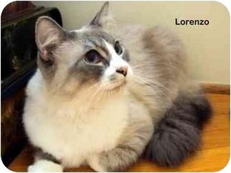 Siamese Cat for adoption in Portland, Oregon - Lorenzo