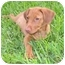 Photo 1 - Labrador Retriever/Vizsla Mix Puppy for adoption in Homestead, Florida - Ember