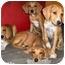 Photo 3 - Bloodhound/Vizsla Mix Puppy for adoption in Latrobe, Pennsylvania - 1 Bloodhound Mix Girl