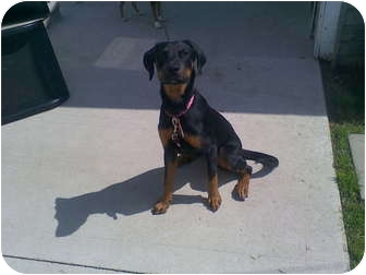 Rottweiler/Doberman Pinscher Mix Dog for adoption in New Baltimore, Michigan - Stormy
