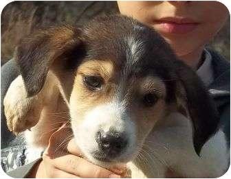 Treeing Walker Coonhound/Jack Russell Terrier Mix Puppy for adoption in Hagerstown, Maryland - Dunken