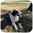 Photo 3 - Australian Shepherd Dog for adoption in San Angelo, Texas - Jaz