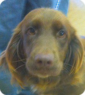 Labrador Retriever/Golden Retriever Mix Dog for adoption in New Canaan, Connecticut - Emma