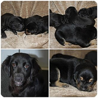 Labrador Retriever/Flat-Coated Retriever Mix Puppy for adoption in New Jersey, New Jersey - NJ - The Christmas Puppies