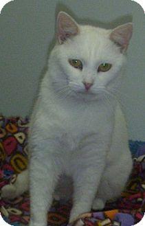 Domestic Shorthair Cat for adoption in Hamburg, New York - Snowflake