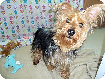 Yorkie, Yorkshire Terrier Mix Dog for adoption in Waldorf, Maryland - Dakota #271
