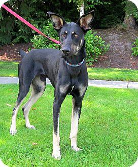 German Shepherd Dog/Doberman Pinscher Mix Dog for adoption in Gig Harbor, Washington - Archer