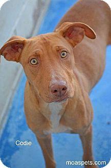 Weimaraner/Shepherd (Unknown Type) Mix Dog for adoption in Danielsville, Georgia - Codie
