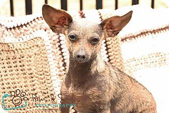 Chihuahua/Dachshund Mix Dog for adoption in McDonough, Georgia - Gerri Ann
