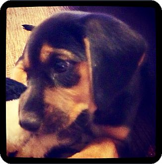 Beagle Mix Puppy for adoption in Grand Bay, Alabama - Fletcher