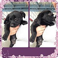 Adopt A Pet :: Sasha - Yerington, NV