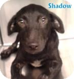Retriever (Unknown Type)/Hound (Unknown Type) Mix Dog for adoption in Georgetown, South Carolina - Shadow