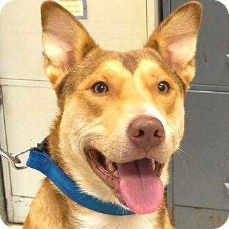 Husky Mix Dog for adoption in Sprakers, New York - Siri