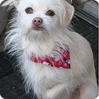 Adopt A Pet :: Bella - Mount Kisco, NY