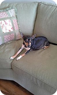 Chihuahua/Miniature Pinscher Mix Dog for adoption in Shallotte, North Carolina - Trixie