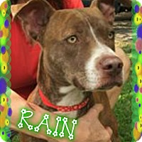 Adopt A Pet :: Rain - Tampa, FL