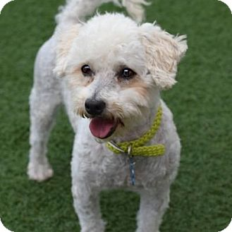 Poodle (Miniature) Mix Dog for adoption in Denver, Colorado - Barnum