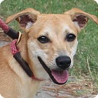 Adopt A Pet :: Ike - Chapel Hill, NC
