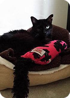 Domestic Longhair Cat for adoption in Valley Village, California - SOPHIE