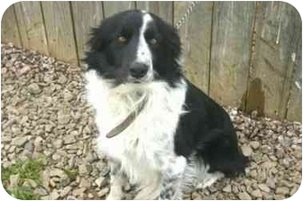 Border Collie Mix Dog for adoption in Muldrow, Oklahoma - MILES