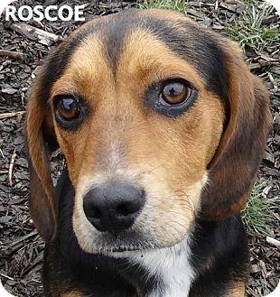 Beagle Mix Dog for adoption in Lapeer, Michigan - ROSCOE--BEAGLE MIX