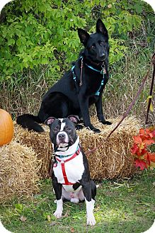 German Shepherd Dog/American Pit Bull Terrier Mix Dog for adoption in West Allis, Wisconsin - Dragon&Thor *Courtesy Cupids**