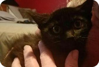 Domestic Shorthair Kitten for adoption in Breinigsville, Pennsylvania - Sophie