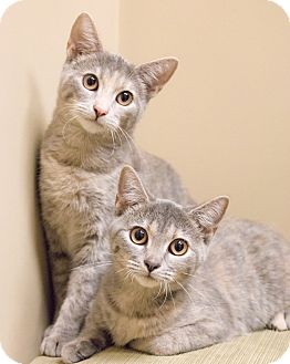 Domestic Shorthair Cat for adoption in Chicago, Illinois - Gianna and Paloma