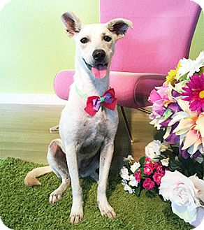 Labrador Retriever Mix Dog for adoption in Castro Valley, California - Davina