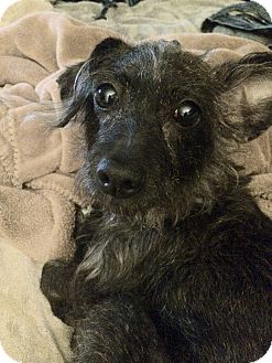 Dachshund/Schnauzer (Miniature) Mix Dog for adoption in Raritan, New Jersey - Lola