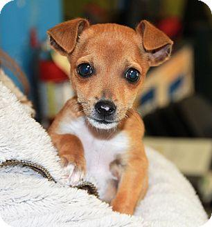 Chihuahua Mix Puppy for adoption in Greensboro, North Carolina - Chello