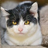 Domestic Shorthair Kitten for adoption in Davis, California - Lilliput