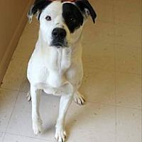 Adopt A Pet :: Boomer - Burlington, VT