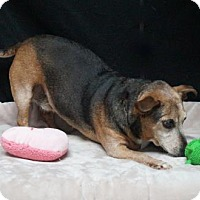 Dachshund Mix Dog for adoption in Lebanon, Tennessee - Chyanne (D17-087)