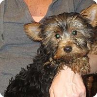Yorkie, Yorkshire Terrier Puppy for adoption in Salem, New Hampshire - Davie