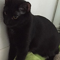 Adopt A Pet :: Solitare - Whittier, CA