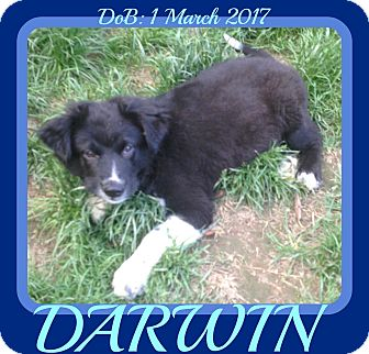 Border Collie Mix Puppy for adoption in Mount Royal, Quebec - DARWIN