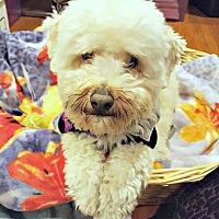 Adopt A Pet :: Murphy needs a single woman! - Redondo Beach, CA