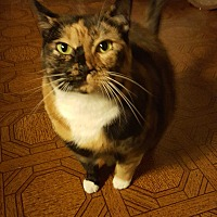 Adopt A Pet :: Calie - Riverside, RI