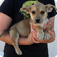 Adopt A Pet :: GIZMO'S PUPS E - Corona, CA