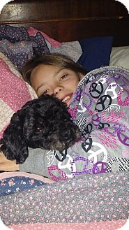 Toy Poodle Dog for adoption in Red Lion, Pennsylvania - Katie