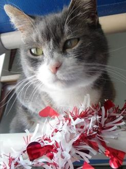Domestic Shorthair/Domestic Shorthair Mix Cat for adoption in Waupaca, Wisconsin - Sapphire