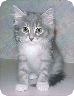 Domestic Longhair Kitten for adoption in North Judson, Indiana - Sophie