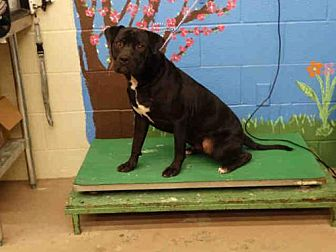 Pit Bull Terrier Dog for adoption in Waco, Texas - TYRONE