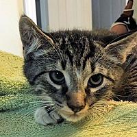 Adopt A Pet :: Bennie - Nashua, NH