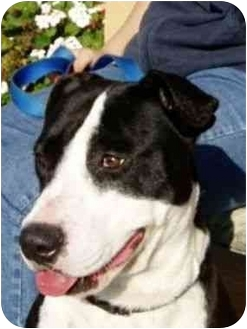 Border Collie/American Pit Bull Terrier Mix Dog for adoption in Berkeley, California - Rosie