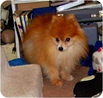 Pomeranian Dog for adoption in Warren, New Jersey - CLOVER