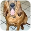 Photo 1 - Bloodhound Dog for adoption in Phoenix, Arizona - Abbie