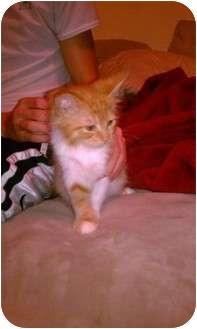 Domestic Mediumhair Kitten for adoption in Tampa, Florida - Mr. Giguhls